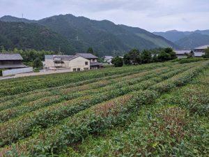 摘み終わった茶畑