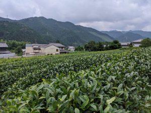 茶葉の摘み