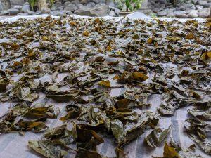 阿波番茶の乾燥